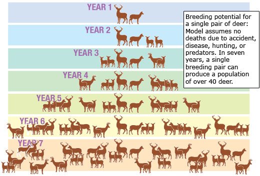 Model of the breeding potential of a single pair of deer