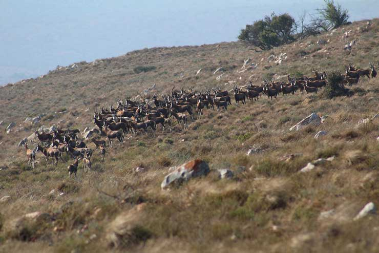 A herd of blesbok from a distance