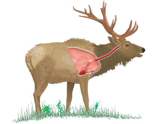Vital organs of an elk